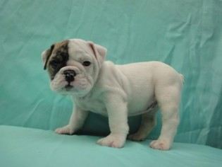 Bulldog Puppy for sale in RICHMOND, VA, USA