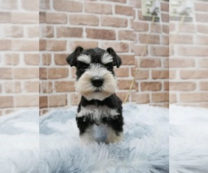 Schnauzer (Miniature) Puppy for sale in LONG ISLAND CITY, NY, USA