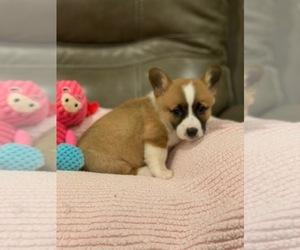 Pembroke Welsh Corgi Puppy for sale in BILLINGS, MO, USA