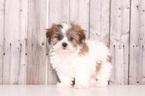 Zuchon Puppy For Sale in MOUNT VERNON, OH