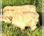 Small Photo #6 Bouvier Des Flandres Puppy For Sale in AMBOY, WA, USA