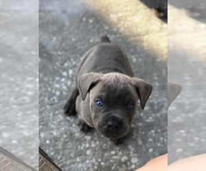 Cane Corso Puppy for sale in EUSTIS, FL, USA