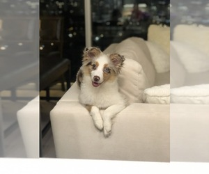 Miniature Australian Shepherd Puppy for sale in CHICAGO, IL, USA