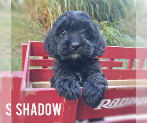Cavapoo Puppy for Sale in LEBANON, Pennsylvania USA