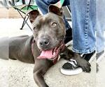 Small #96 American Staffordshire Terrier-Bull Terrier Mix