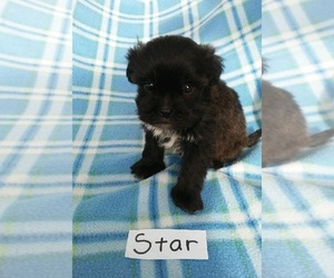ShihPoo Puppy for sale in CLARKRANGE, TN, USA