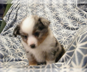 Miniature Australian Shepherd Puppy for sale in CHRISTIANA, DE, USA