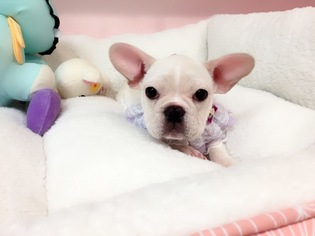 French Bulldog Puppy For Sale in SAN GABRIEL, CA, USA