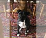Small #32 American Staffordshire Terrier-Labrador Retriever Mix