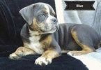 Olde Bulldog-Puggle Mix Puppy For Sale in GARRETTSVILLE, OH, USA