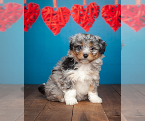 Australian Shepherd-Poodle (Miniature) Mix Puppy for sale in ADDISON, MI, USA