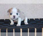Small Photo #5 French Bulldog Puppy For Sale in HESPERIA, CA, USA