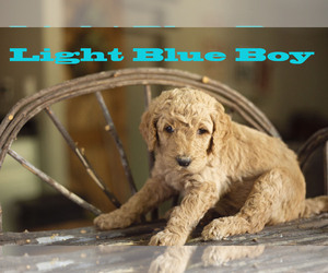 Goldendoodle Puppy for sale in CITRUS HEIGHTS, CA, USA
