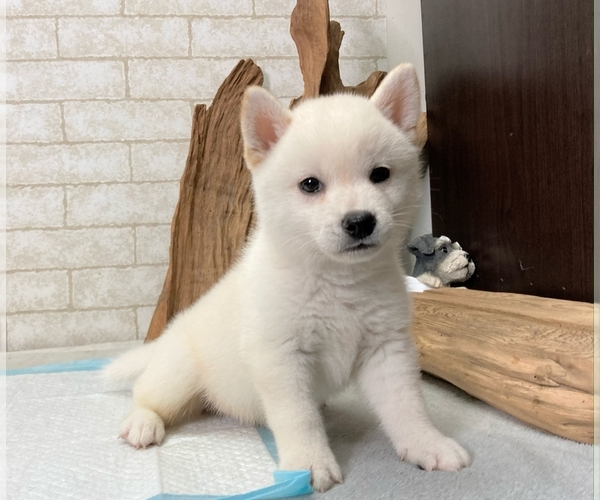 Medium Photo #4 Shiba Inu Puppy For Sale in BEVERLY HILLS, CA, USA