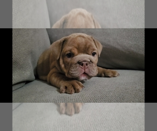 Medium Photo #1 Bulldog Puppy For Sale in BAKERSFIELD, CA, USA