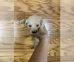 Puppy 1 Golden Retriever