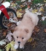 Pomeranian Puppy For Sale in INDEPENDENCE, OR, USA