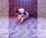 Small #27 Pomeranian