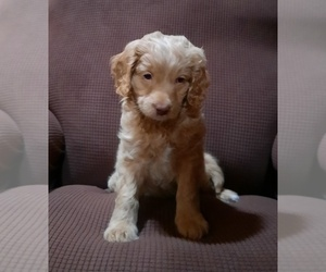 Goldendoodle Puppy for sale in KANSAS CITY, KS, USA