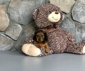 Dachshund Puppy for sale in CLEVELAND, NC, USA