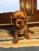 Cavalier King Charles Spaniel Puppy For Sale in LEO, IN, USA