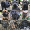 Cane Corso Puppy For Sale in ELMER, NJ,