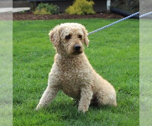 Father of the Goldendoodle-Poodle (Miniature) Mix puppies born on 09/19/2020