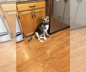 Shepradors Puppy for sale in CANBY, OR, USA
