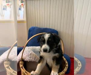 English Shepherd Puppy for Sale in GARDNER, Kansas USA
