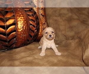 Poodle (Miniature) Puppy for sale in SIERRA VISTA, AZ, USA