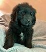 Puppy 0 Newfoundland