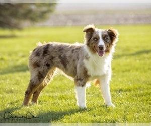 Mother of the Australian Shepherd puppies born on 06/30/2019