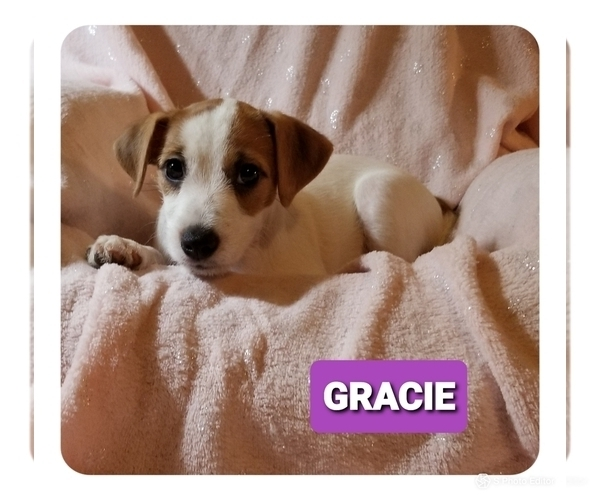 Medium Photo #4 Jack Russell Terrier Puppy For Sale in MANSFIELD, TX, USA