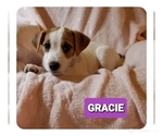 Small Photo #4 Jack Russell Terrier Puppy For Sale in MANSFIELD, TX, USA