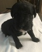 Labradoodle Puppy For Sale in CHARLESTON, WV,