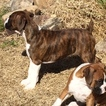 Boxer Puppy For Sale in RUSSELLVILLE, AL