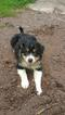 Australian Shepherd Border Collie Puppies