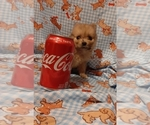 Small Photo #2 Pomeranian Puppy For Sale in CARTHAGE, TX, USA
