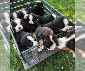 Bernese Mountain Dog Puppy for sale in QUINCY, MI, USA