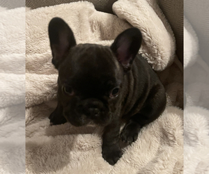 French Bulldog Puppy for Sale in TOPEKA, Kansas USA