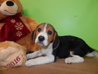 Beagle Puppy For Sale in HAMMOND, IN