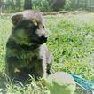 German Shepherd Dog Puppy For Sale in PLANT CITY, FL