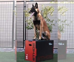 Father of the Belgian Malinois puppies born on 02/16/2021