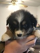 Miniature Australian Shepherd Puppy For Sale in VACAVILLE, CA, USA