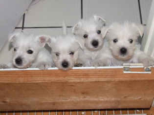 View Ad: West Highland White Terrier Litter of Puppies for Sale near