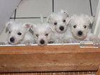 West Highland White Terrier Puppy For Sale in NORTH FORT MYERS, FL, USA