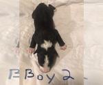 Puppy 8 Border-Aussie
