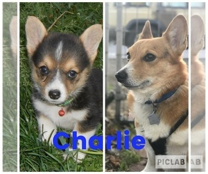 Father of the Pembroke Welsh Corgi puppies born on 04/21/2020