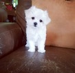 Tiny Teacup Maltese Girl