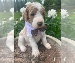 Goldendoodle Puppy for sale in STRATTANVILLE, PA, USA